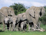 African Elephants, Loxodonta Africana, Maternal Group with Baby, Etosha National Park, Namibia