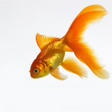 Buy Goldfish at AllPosters.com