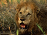 Close-Up of Male Lion (Panthera Leo), Mala Mala Game Reserve, Sabi Sand Park, South Africa, Africa