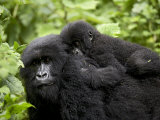 Adult Female Mountain Gorilla with Infant Riding on Her Back, Amahoro a Group, Rwanda, Africa