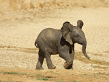 Baby African Elephant Running, Addo Elephant National Park, South Africa, Africa