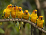Closeup of Six Captive Sun Parakeets