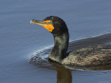 Closeup of a Double-Crested Cormorant, Sanibel Island, Florida