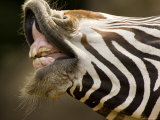 Closeup of a Grevys Zebra's Mouth