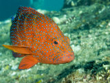 Buy Closeup of a Blue-Spotted Grouper, Also Know as a Coral Hind, Bali, Indonesia at AllPosters.com