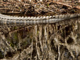 American Alligator Surfacing from a Pond, Sanibel Island, Florida