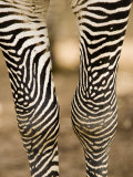 Closeup of a Grevys Zebra's Legs