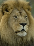 African Lion from the Sedgwick County Zoo, Kansas