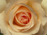 Closeup of a Mothers Love Rose Flower and Petals, Jamieson, Australia