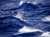 Bottlenose Dolphin Riding Waves, French Polynesia