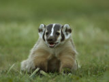 Hand-Raised Badger at the Home of a Wildlife Rescue Network Worker