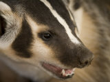 Hand-Raised Badger Bares its Teeth at its Home in Talmage, Nebraska