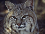 Close-Up of a Bobcat