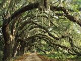 Ancient Live Oak Trees in Georgia