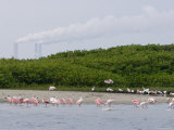 Flock of Juvenile and Adult Roseate Spoonbills, Tampa Bay, Florida