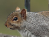 Gray Squirrel Portrait