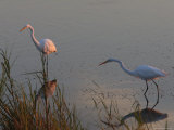 Great Egrets Hunting for Fish, Bombay Hook, Delaware