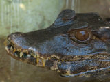 Cuvier's Dwarf Caiman at the Sunset Zoo