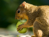 Red Fox Squirrel Chews on a Walnut in Lincoln, Nebraska