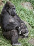 Relaxed Western Lowland Gorilla Mother Tenderly Nursing Her Infant, Melbourne Zoo, Australia