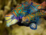 Buy Pair of Mandarinfish Swim Close Together Prior to Spawning, Malapascua Island, Philippines at AllPosters.com