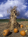 Pumpkins and Corn Stalks Bundle in Autumn, California