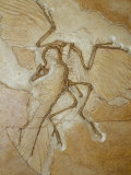 The Earliest Bird, Archaeopteryx, Fossil Skeleton with Feathers