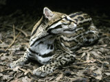 Secretive Ocelot Rests in the Understorey on Forest Leaf Litter, Melbourne Zoo, Australia