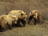 Sow Grizzly with Cubs, Alaska