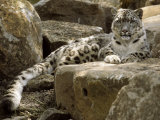 The Watchful Stare of a Snow Leopard Belies its Relaxed Appearance, Melbourne Zoo, Australia