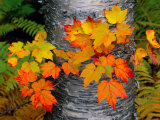 Sugar Maple Leaves Set against the Trunk of a Yellow Birch Tree