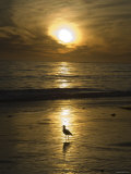 Seagull Silhouette on Beach Golden Light, California
