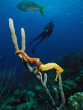 Underwater View of a Diver, Sea Horses, Tropical Fish, and Coral