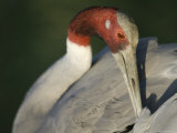 Sarus Crane at the International Crane Foundation, Baraboo, Wisconsin