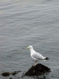 Seagull Perched on a Seaweed Covered Rock
