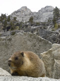Yellow-Bellied Marmot in Tokopah Valley, California