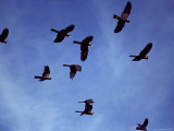 Yellow Tailed Black Cockatoo Flock in Flight against a Blue Sky, Australia