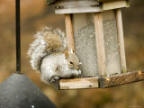 Squirrel at Bird Feeder, Lexington, Massachusetts