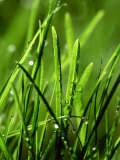 Blades of Grass with Dewdrops