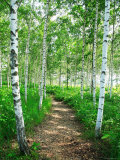 White Birch Lane Photographic Print