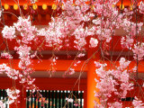 Cherry Blossoms, Heian-Jingu Shrine, Kyoto, Japan