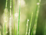 Morning Dew on Grass Leaves