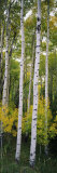 Buy Rocky Mountain Aspen Forest at AllPosters.com