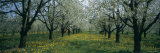 Buy Cherry Trees in a Forest, Kaiserstuhl, Konigschaffhausen, Germany at AllPosters.com