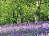 Bluebells in Woods, Springtime