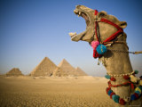 Camel at the Pyramids, Giza, Cairo, Egypt