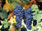 Cabernet Sauvignon Grapes, Napa Valley, California