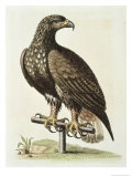 White Tailed Eagle from Hudson's Bay, c.1751