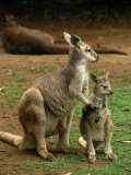 Female Kangaroo with Joey, Australia
