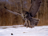 Great Gray Owl Flying, Rowley, MA
